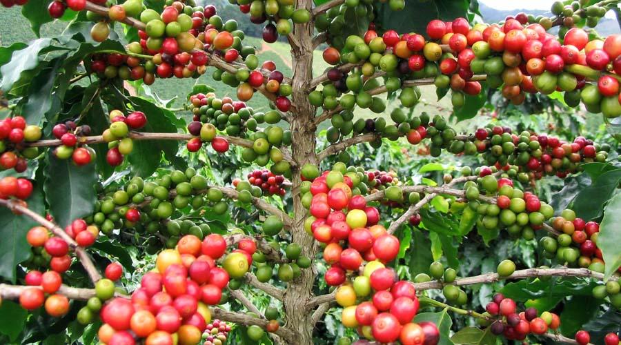 Comunidades mixtecas hacen suyo el café | El Imparcial de Oaxaca