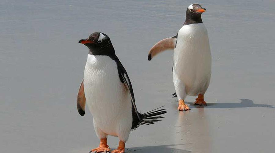 Primer pingüino sin género será criado por pareja de aves del mismo sexo   El Imparcial de Oaxaca