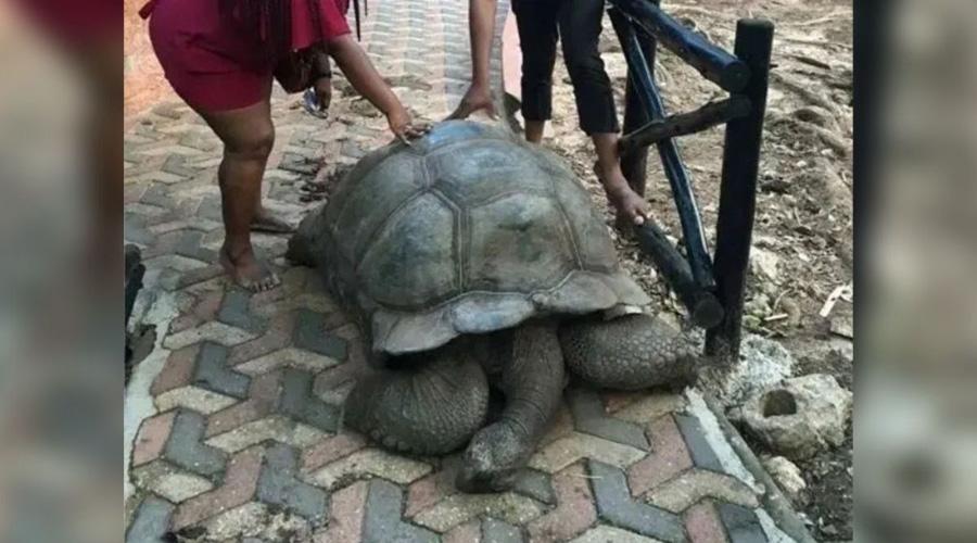 Muere la tortuga más longeva conocida por la humanidad, a los 344 años | El Imparcial de Oaxaca