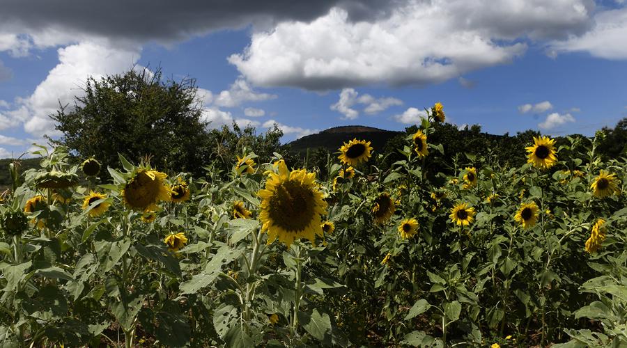 Girasoles, alternativa contra el cambio climático en Oaxaca   El Imparcial de Oaxaca