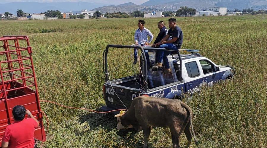 Toros causan pánico en Xoxocotlán