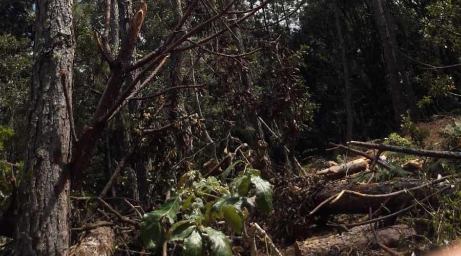 Aumentan plagas en bosques de la Mixteca