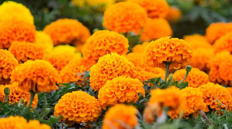 La leyenda de la flor de cempasúchil   El Imparcial de Oaxaca