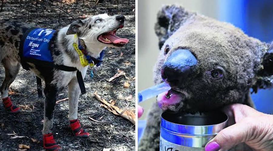 Perro rescatista de koalas se hace viral por labor en incendios de Australia   El Imparcial de Oaxaca