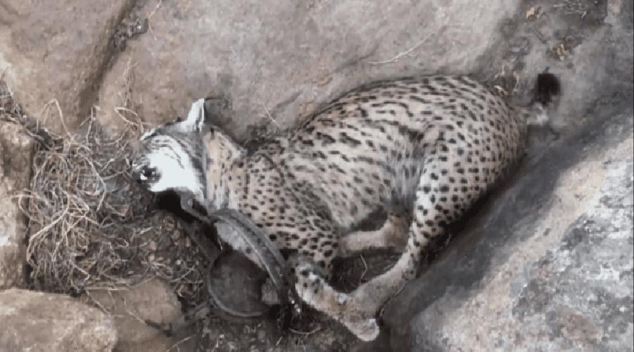 Cazador mata a lince protegido que tenía cuadro cachorros | El Imparcial de Oaxaca