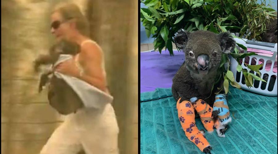 Muere koala que fue rescatado de incendio | El Imparcial de Oaxaca
