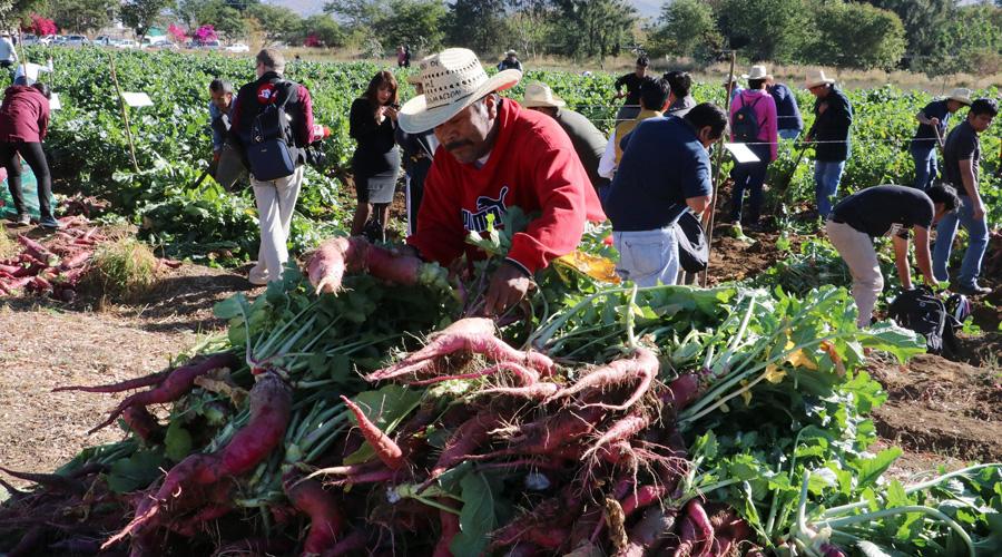 Rompen récord al cosechar 17 toneladas de rábanos