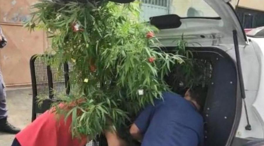 Por Navidad, decora su arbolito… ¡de mariguana! y lo meten a la cárcel | El Imparcial de Oaxaca