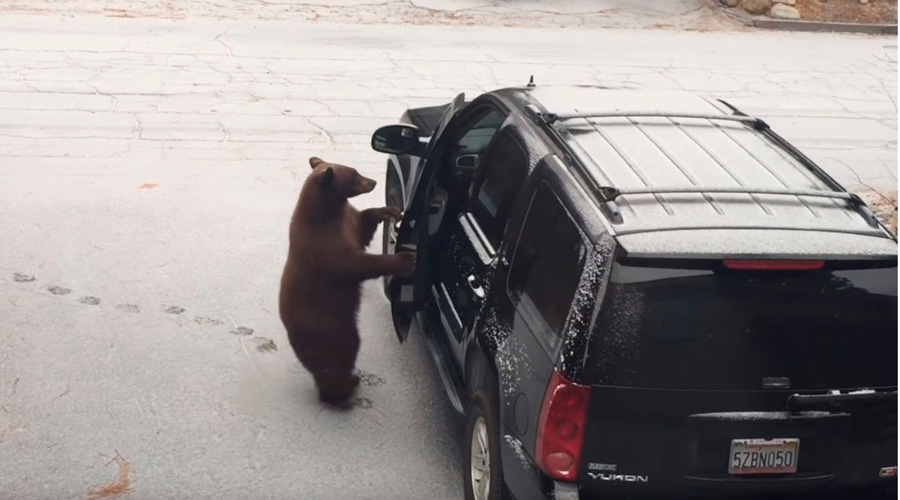 Video: Captan a un oso abriendo la puerta de un coche como si fuera suyo | El Imparcial de Oaxaca