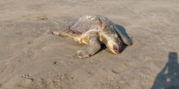 Mueren 11 tortugas rescatadas en la Costa