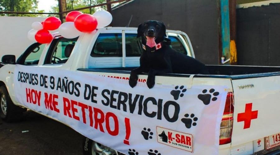 Perro labrador se retira de la Cruz Roja, tras nueve años de labor