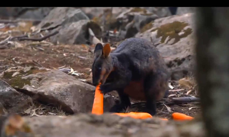 Video: Arrojan miles de kilogramos de vegetales para animales afectados por incendios en Australia | El Imparcial de Oaxaca