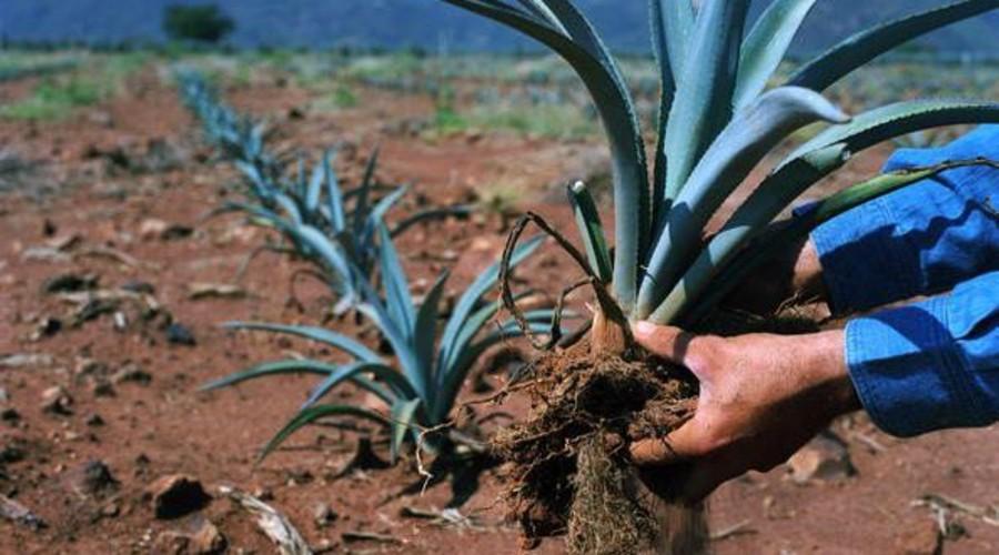 Científico del CIIDIR encuentra solución a plagas de agave y cultivos básicos | El Imparcial de Oaxaca