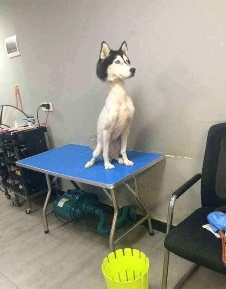 Husky siberiano rapado pone a 'ladrar' a internet | El Imparcial de Oaxaca