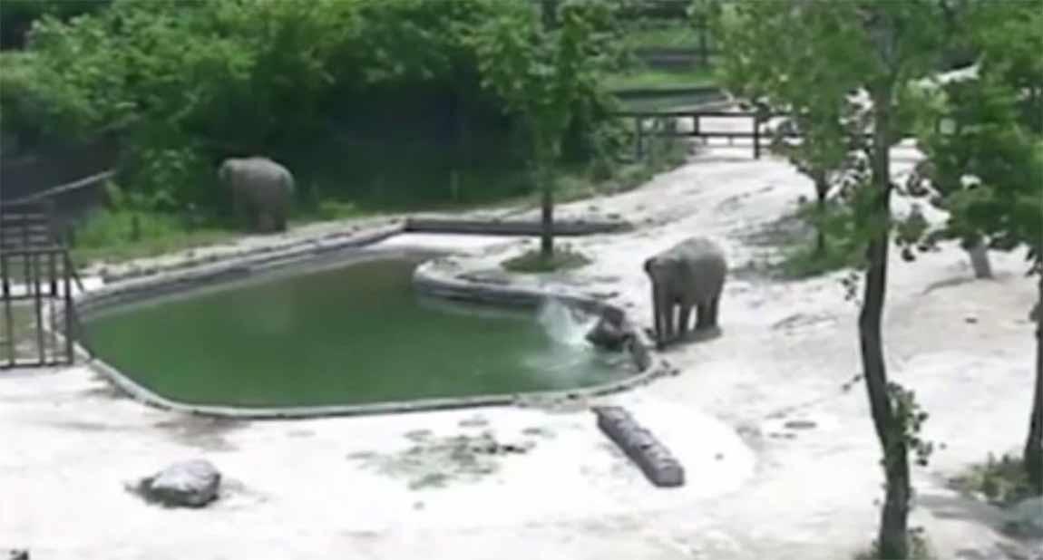 Video: Pareja de elefantes hace equipo y salva a cría de ahogarse | El Imparcial de Oaxaca