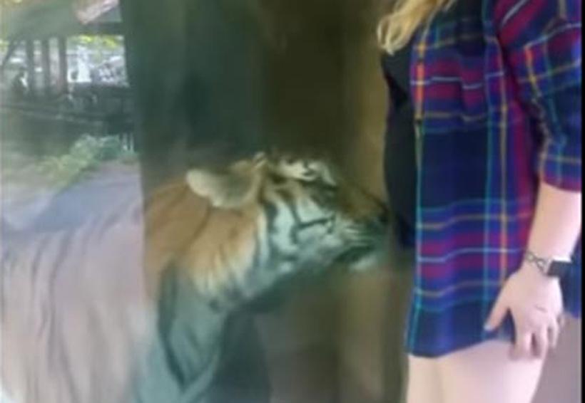 Video: Tigre 'acaricia' vientre de mujer embarazada | El Imparcial de Oaxaca