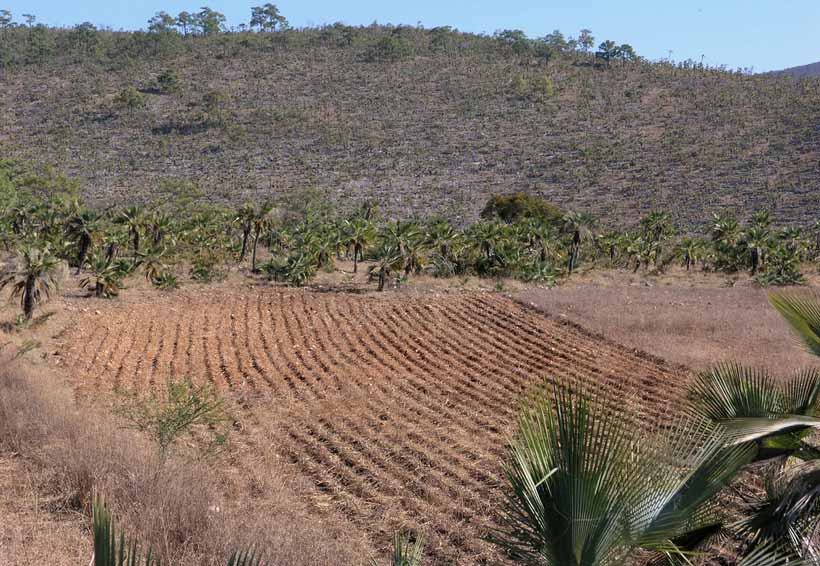 Paga Conafor 9 mil pesos por hectárea saneada de la erosión | El Imparcial de Oaxaca