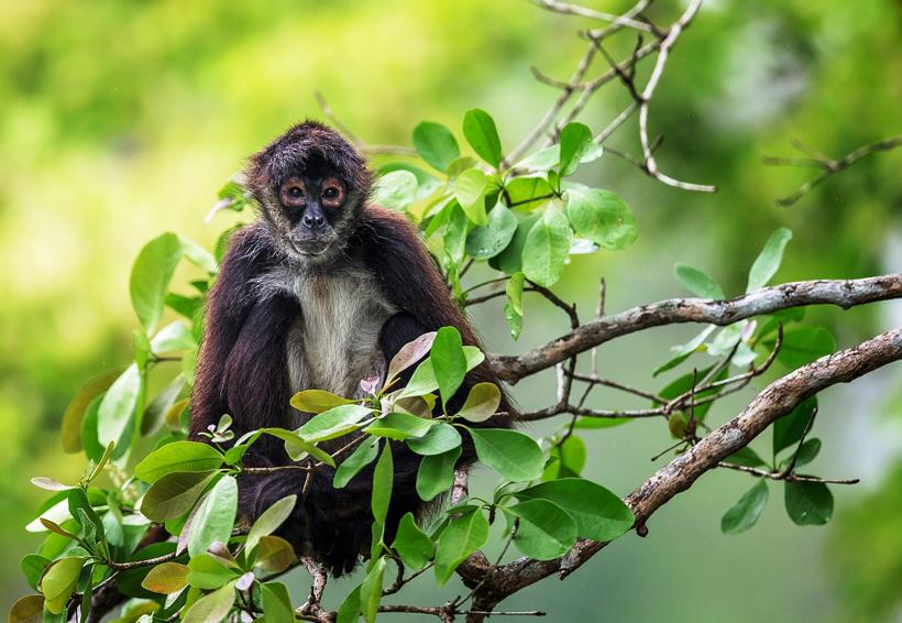 Logra CONANP monitoreo de población de mono araña | El Imparcial de Oaxaca