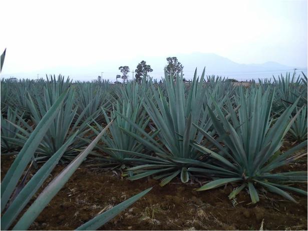 En Oaxaca algunas especies endémicas de agave en peligro de extinción   El Imparcial de Oaxaca