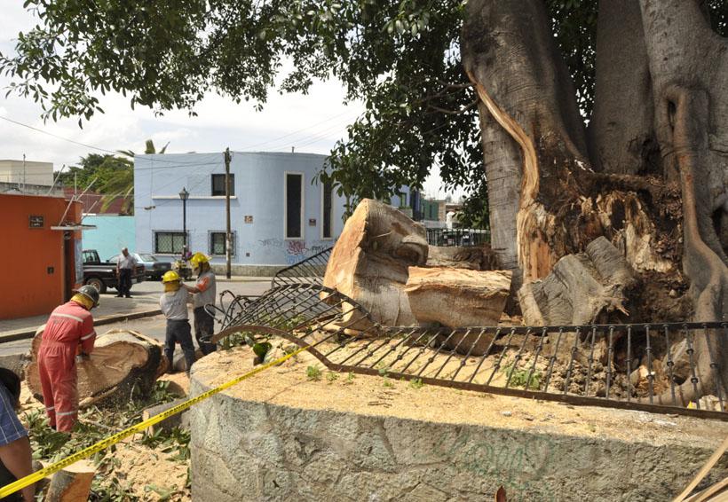 Exigen rescatar árbol  sembrado por Morelos en el año 1812 | El Imparcial de Oaxaca