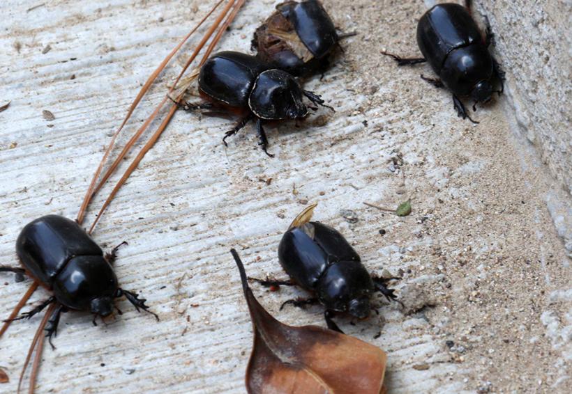La vida breve de los  escarabajos o 'mayates' | El Imparcial de Oaxaca