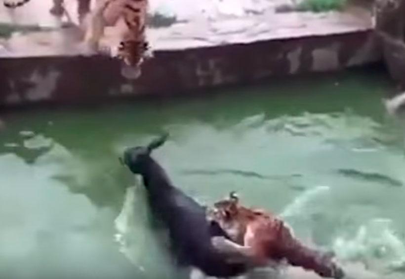 Video: Empleados de zoológico alimentan a 2 tigres con burro vivo | El Imparcial de Oaxaca
