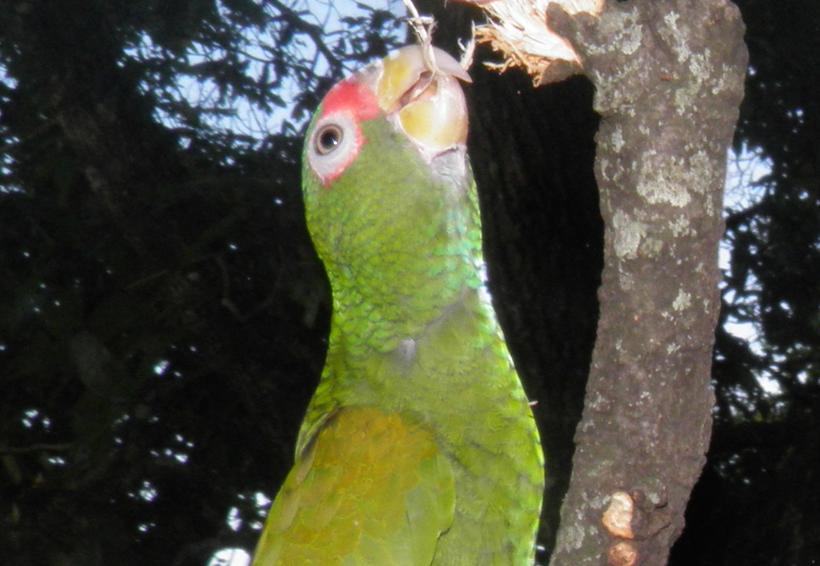 Encuentran nueva especie de loro de plumas azules en México | El Imparcial de Oaxaca