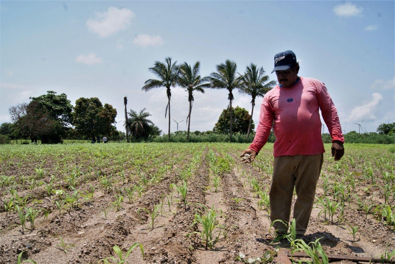 En el Istmo hay 500 hectáreas de cultivo afectadas por las lluvias | El Imparcial de Oaxaca