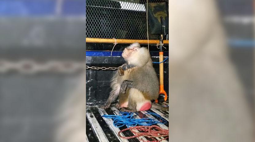 Ataca mono a una niña en Puerto Escondido | El Imparcial de Oaxaca