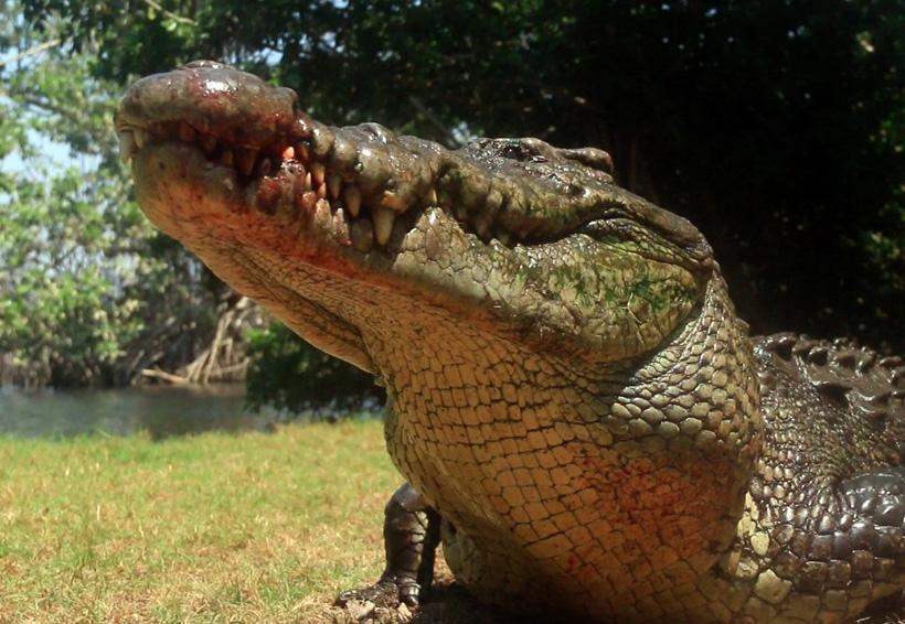 Se registra otro ataque de cocodrilo en Pinotepa   El Imparcial de Oaxaca
