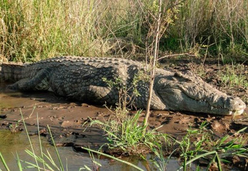 Se queda dormido junto a la laguna y es mordido por un cocodrilo | El Imparcial de Oaxaca