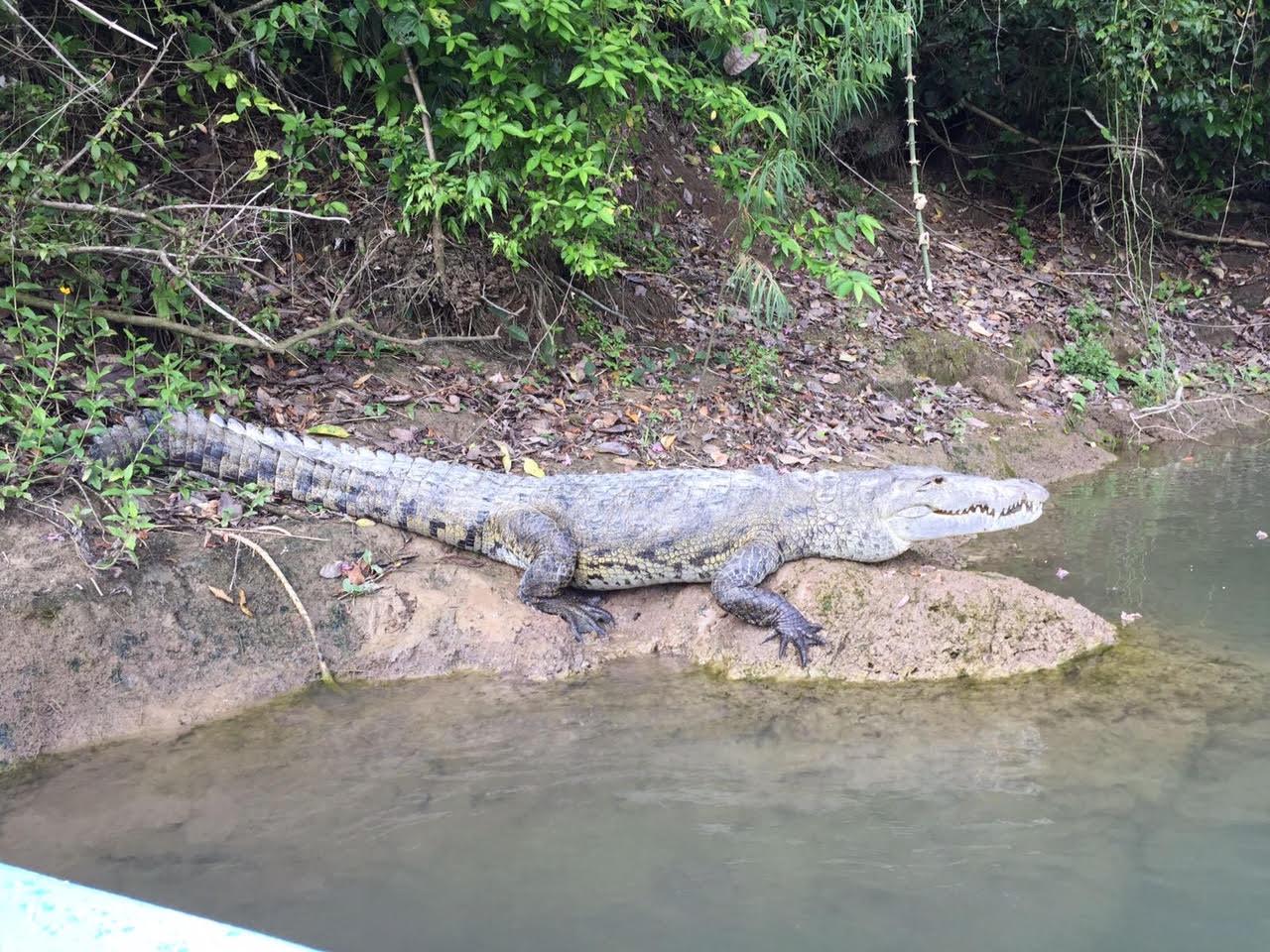 Ataque de cocodrilo en la Costa   El Imparcial de Oaxaca