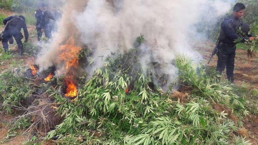 Siguen destruyendo plantíos de mariguana en poblados de Ejutla | El Imparcial de Oaxaca