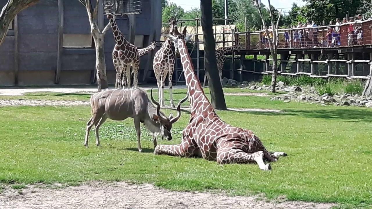 Un antílope ataca sin piedad a una jirafa | El Imparcial de Oaxaca