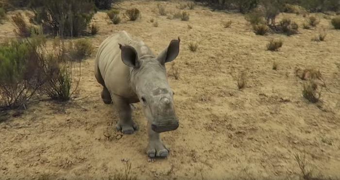 Video: De un rinoceronte bebé que conquista las redes sociales   El Imparcial de Oaxaca