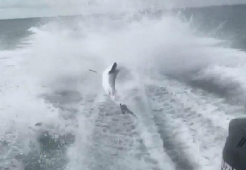 Video: Atan a tiburón vivo y lo arrastran hasta destrozarlo | El Imparcial de Oaxaca