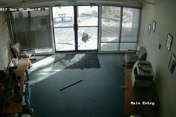 Una cabra rompe los vidrios de oficina en EU, sin motivo aparente, y se vuelve viral   El Imparcial de Oaxaca