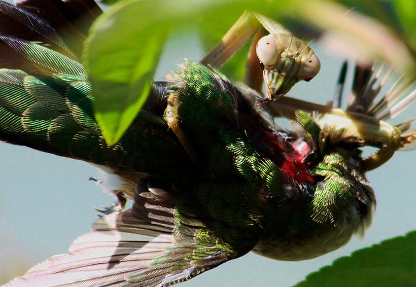 Científicos descubrieron que las mantis son tan letales que también comen pájaros | El Imparcial de Oaxaca