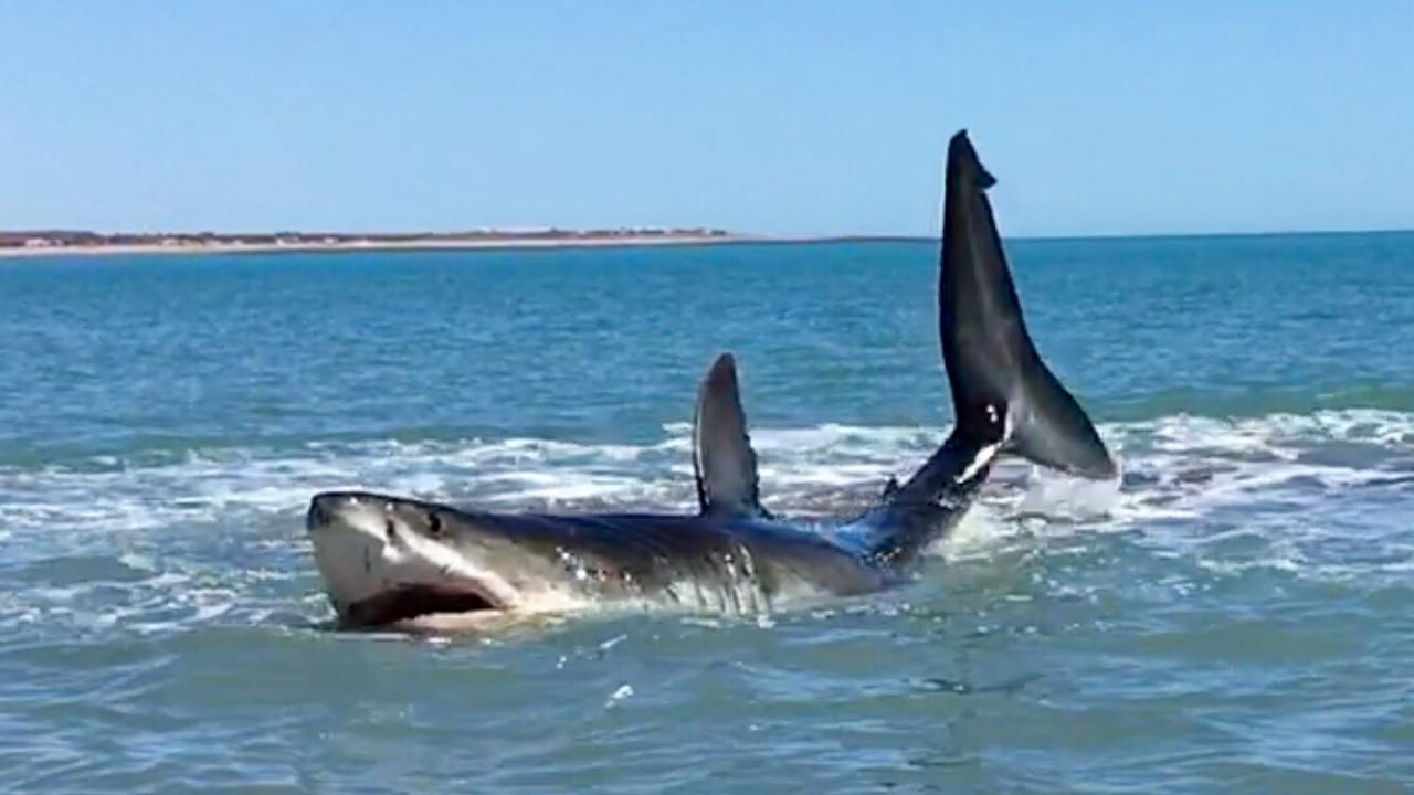 Se encuentra con un enorme tiburón blanco de casi 5 metros en la orilla de la playa | El Imparcial de Oaxaca