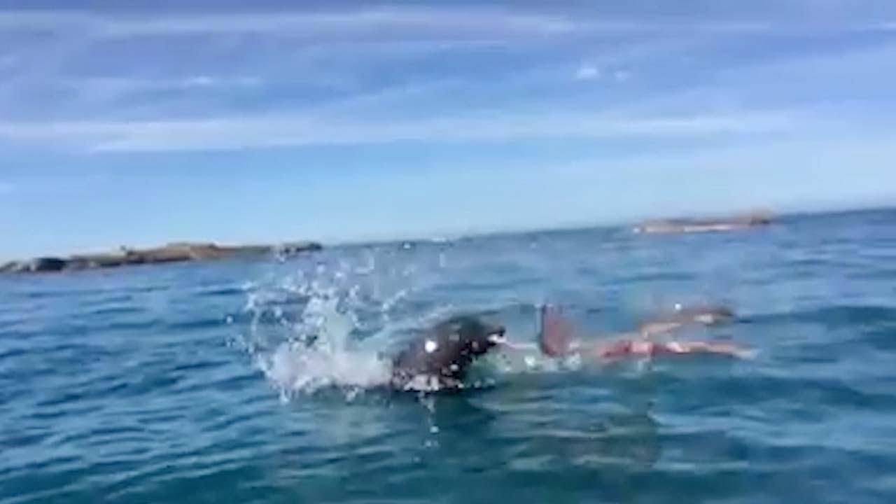 Duelo a muerte entre una foca y un pulpo | El Imparcial de Oaxaca
