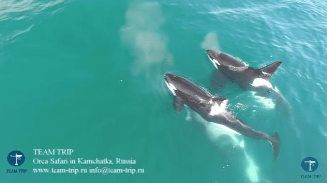 Video muestra cómo un grupo de orcas persigue y ataca a una ballena en aguas de Rusia   El Imparcial de Oaxaca