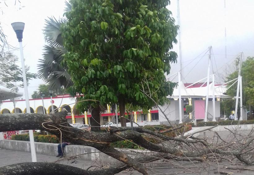 Preocupa caída de árboles ante temporada de lluvias en la Cuenca | El Imparcial de Oaxaca