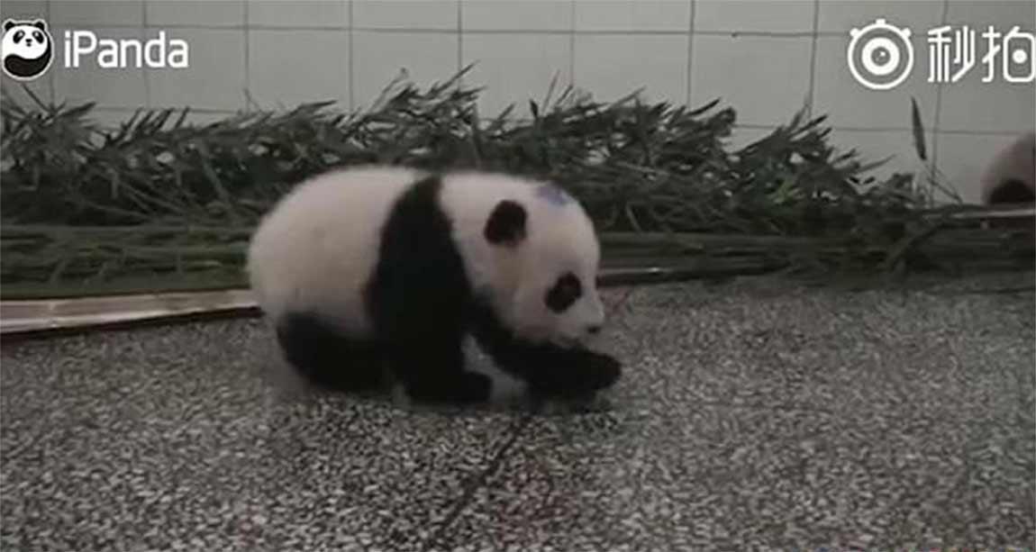 Video: Bebé panda con hipo enternece redes sociales | El Imparcial de Oaxaca