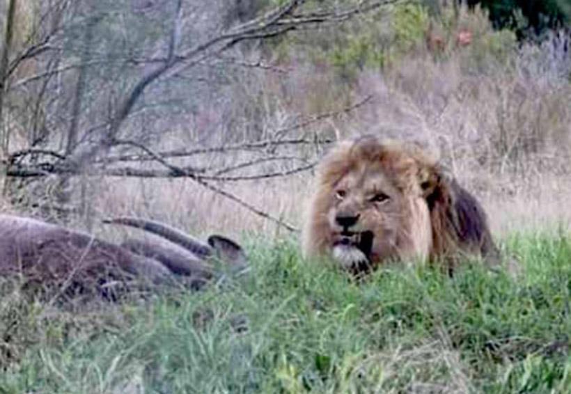 Video: Por filmar a un león se lleva el susto de su vida | El Imparcial de Oaxaca