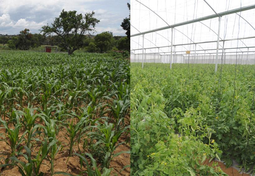 En Oaxaca, vive el campo contraste entre el maíz y el tomate   El Imparcial de Oaxaca