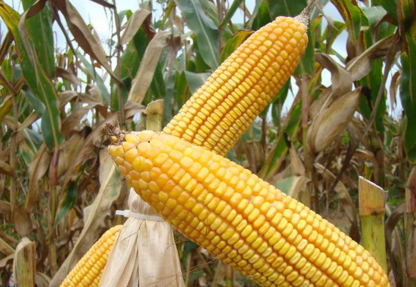 Prueban maíz amarillo en la Cuenca del Papaloapan para consumo animal | El Imparcial de Oaxaca