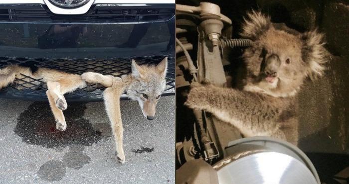 Un koala y un coyote tuvieron la misma idea: viajar de polizontes en vehículos en Canadá y Australia   El Imparcial de Oaxaca