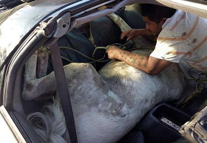 Denuncian 'encobijado' en auto; era un caballo 'empachado' | El Imparcial de Oaxaca