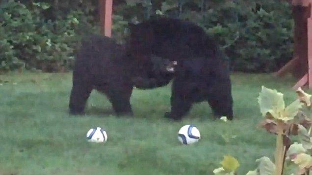 Dos osos se cuelan en un jardín para 'jugar al fútbol' | El Imparcial de Oaxaca