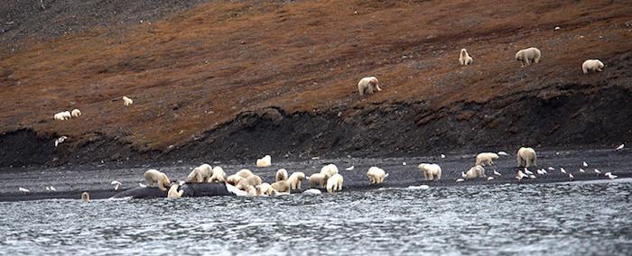 Más de 200 osos polares rodean el cuerpo de una ballena para alimentarse   El Imparcial de Oaxaca